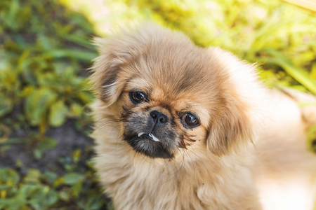 Beautiful little Pekingese puppy on green grass