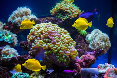 Borboleta de peixes tropicais e corais. Fundo bonito do mundo subaquático Foto de archivo - 80105188