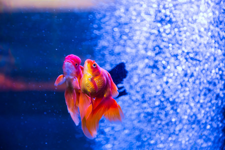 chaetodon: Tropical and aquarium goldfish in blue water. Beautiful background of the underwater world