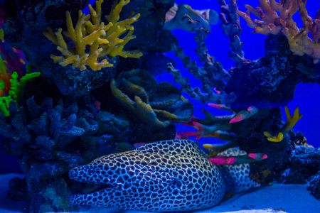wrasse: Tropical and aquarium Moray (wrasse) with corals in blue water. Beautiful background of the underwater world Stock Photo