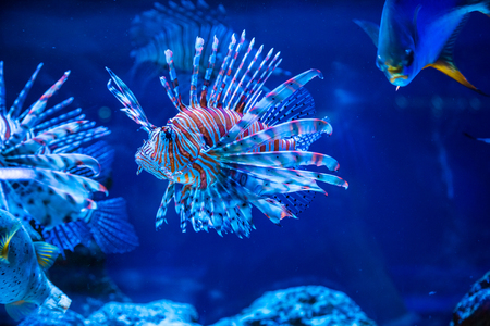열 대 물고기 사자 물고기와 산호입니다. 수중 세계의 아름다운 배경 스톡 콘텐츠