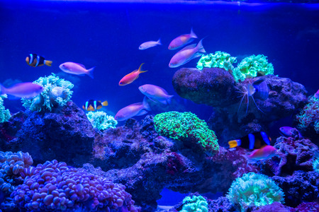 chaetodon: Tropical fish with corals and algae in blue water. Beautiful background of the underwater world