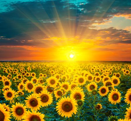 Sunflower fields during sunset. Foto de archivo