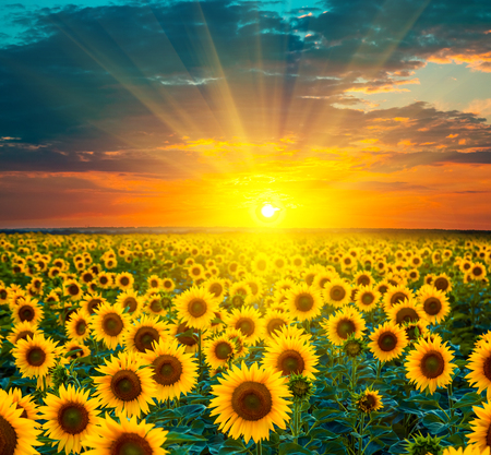 Sunflower fields during sunset. Stockfoto