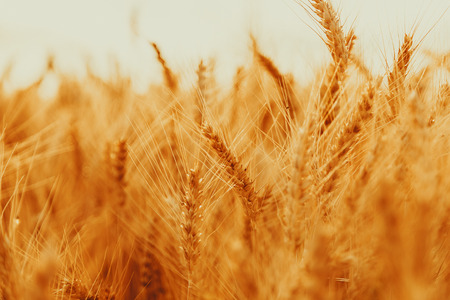 Spikelets of golden wheat on field. Beautiful nature landscape rural on the sunset. Concept rich harvest