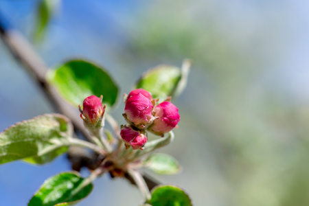 The flower buds of the Apple trees on the branches Standard-Bild