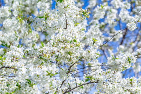 Flowers of the cherry blossoms on a spring day on background the blue sky