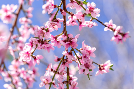 Beautiful blooming peach trees in spring on a Sunny day. Soft focus, natural blur Stockfoto