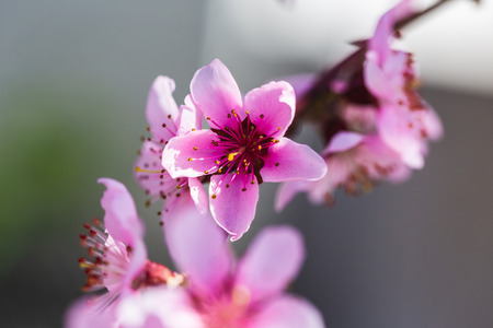 Beautiful blooming peach trees in spring on a Sunny day. Soft focus, natural blur Standard-Bild