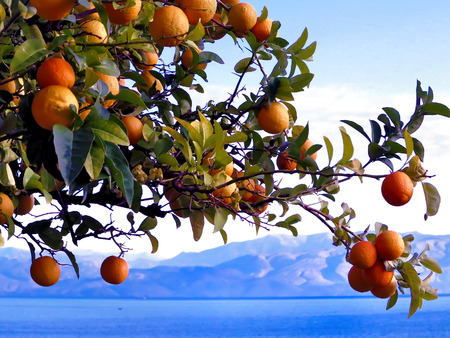 Orange tree against the background of the mountains and the sea in Corfu