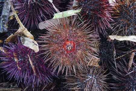 Paracentrotus lividus, a species of sea urchin, purple sea urchin closeup