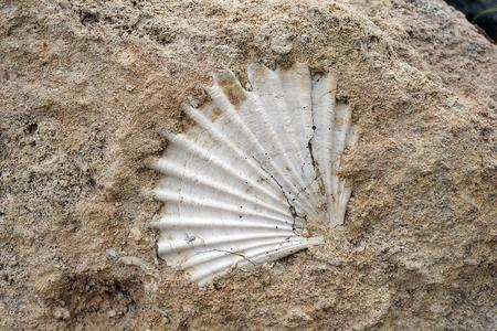 Concha fósil en la roca en el sur de Italia, detalle