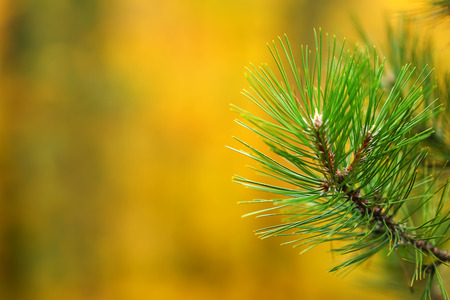 pine branches on blurred bokeh background with copy space
