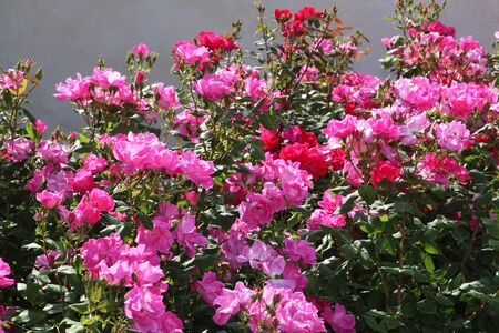 Fuchsia and pink roses in full bloom in May Stok Fotoğraf - 134755635