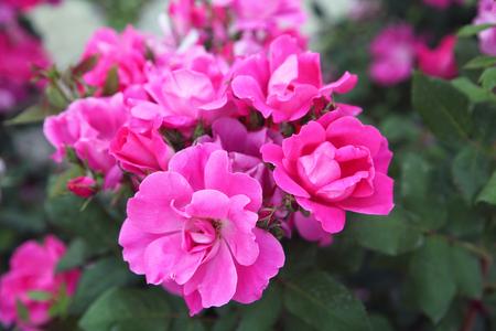 Rosas fucsias y rosadas en plena floración en mayo Foto de archivo