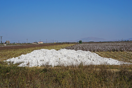 Cotton crop in the central plain of Greece in October