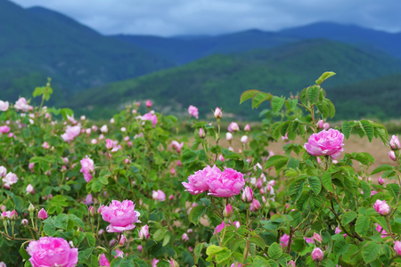 Beautiful Bulgarian Damask Roses in the Valley of Roses in Bulgaria