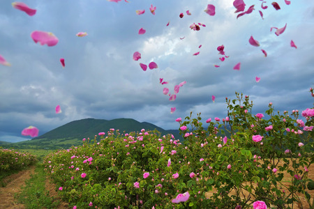 Beautiful Bulgarian Damask Roses in the Valley of Roses in Bulgaria with flying petals