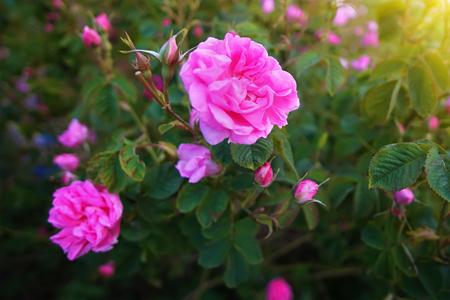Hermosas rosas damasco búlgaras en el Valle de las Rosas en Bulgaria Foto de archivo