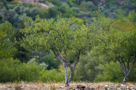 Olivo con aceitunas en las ramas en Creta en Grecia