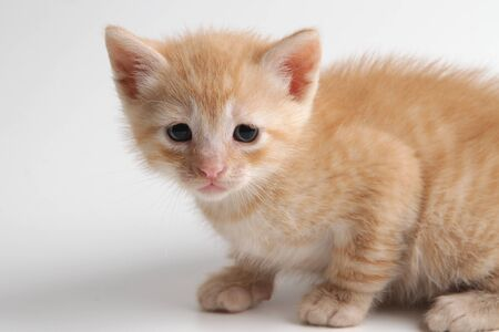 Beautiful and expressive brown kitten on a white background