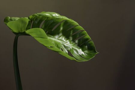 Beautiful young leaf of a green ornamental plant in the interior, close up