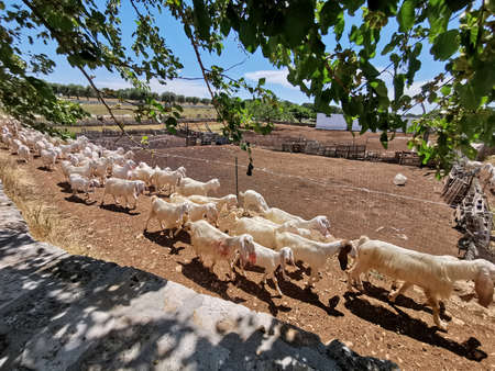 a herd of goats comes back from pasture in a farm in the Selva di Fasano, Apulia in Italy