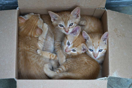 4 brown kittens one month old are resting peacefully in a cardboard box Imagens