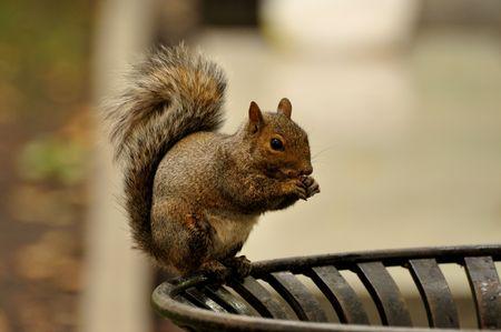 Squirrel Feeding at a Downtown Trashcan Stock Photo