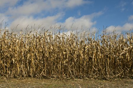 Corn Field in Autumn Stock Photo - 5788922