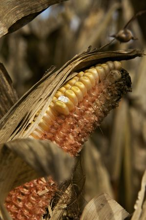 Dried Corn in the Fall Stock Photo - 5788925