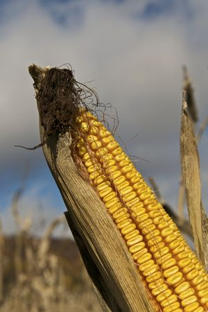 Feed Corn Stock Photo - 5788949