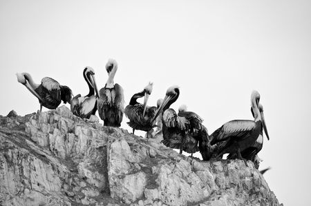 A Group of Pelicans at Isla Ballestas in Peru photo