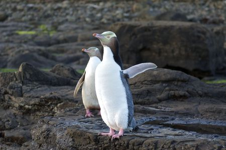 Two Yellow-Eyed Penguins at Curio Cove on the South Island of New Zealand