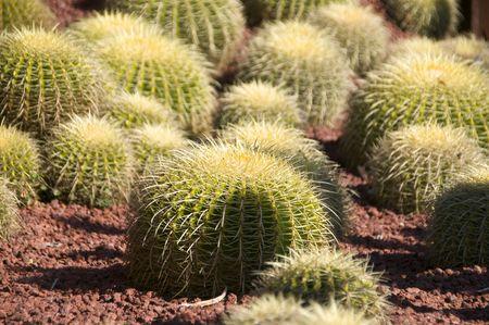 Cactus at the Botanical Garden in Sydney, Australia Stock Photo