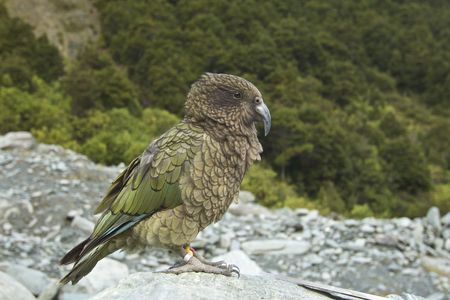 A Kea sits on a rock on a mountain trail in New Zealand
