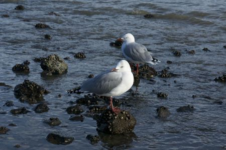 Two Seagulls on a New Zealand Coast