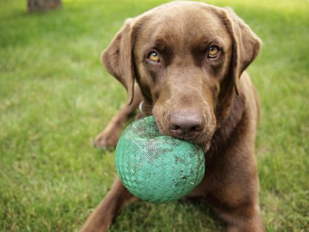 cani che giocano: Un Labrador Chocolate detiene una sfera verde  Archivio Fotografico