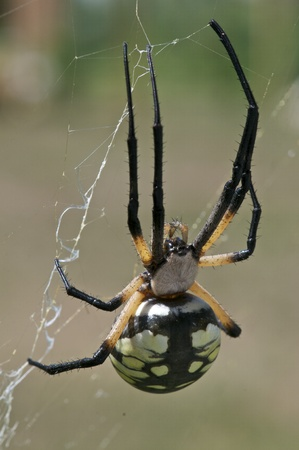 A Black and Yellow Garden Spider on it