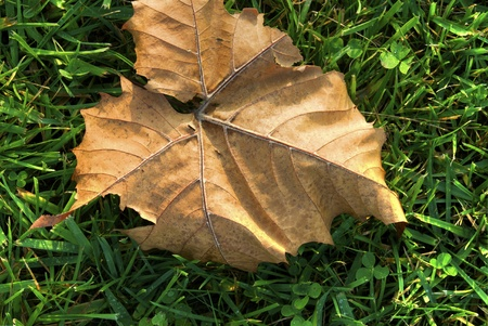 A dry leaf laying in the grass during autumn Stock Photo