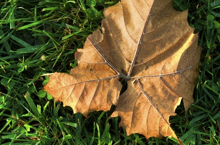 A dry leaf laying in the grass during autumn Reklamní fotografie