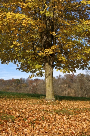 A deciduous tree in autumn Stock Photo - 11143023