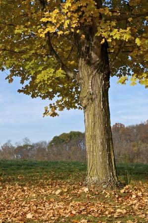A deciduous tree in autumn Stock Photo