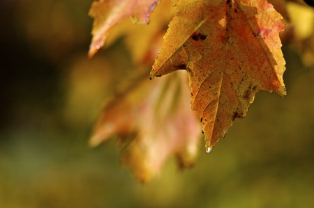Oranžová a žlutá Leaf na podzim Reklamní fotografie