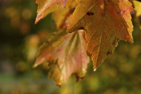 Orange and Yellow Leaf in Autumn Stock Photo - 11143028