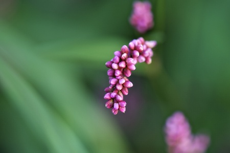 Pink flower blossoms with a green background - Selective Focus
