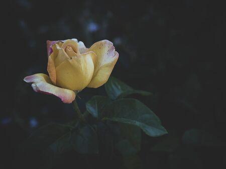 Żółta róża to symbol rozstania, żółta róża to symbol rozstania żółta róża to symbol utraconej miłości