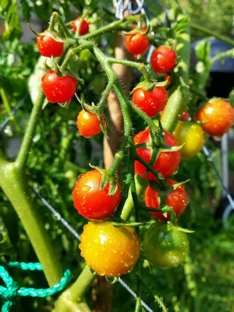 suomi: Tiny red tomatoes growing in the garden in Finland. Stock Photo
