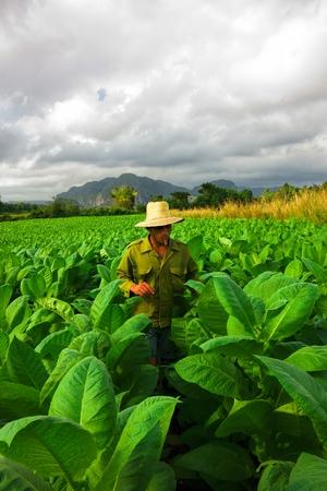 tobacco leaf: Vinales, Cuba - December 21, 2013 - Cuban farmer searching for a perfect tobacco leaf.