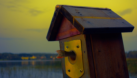 evening out: A tail of small perch fish coming out from a birdhouse entry on a summer evening by the lake  Stock Photo